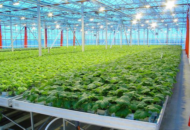 Выращивание базилика на гидропонике бизнес план 14